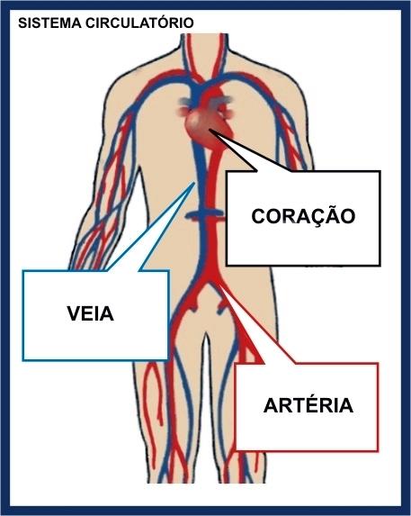 Sistema Circulatório - Conceito, o que é, Significado