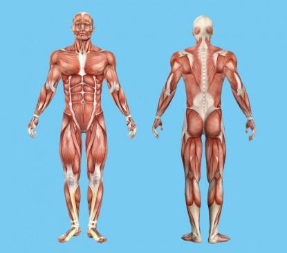 Anatomia-musculos-cuerpo-humano