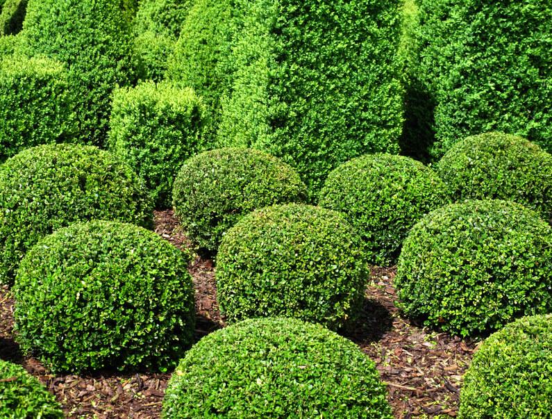 Arbusto conceito o que significado for Arbustos para patios